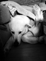 Even if you fall, rest awaits. (grisswife) Tags: blackandwhite animal dog malamute