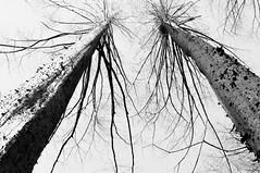 Worm's eye view (Yuta Ohashi LTX) Tags: bw white black tree monochrome silhouette lights nikon branch shadows branches twig  wormseyeview      d90 f3556  18105mm