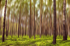 Magical Blueberry Forest (parkerbernd) Tags: trees light motion blur pine forest photoshop germany lumix spring fantastic panasonic blueberry magical springtime pinewood gx1