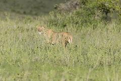 _MG_7497 (farhan1mirza) Tags: wild nature animal canon kenya wildlife 6d nnp nairobinationalpark