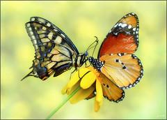 Pasado y presente (- JAM -) Tags: naturaleza flower macro nature insect nikon flor explore jam mariposas d800 insecto macrofotografia explored lepidopteros juanadradas