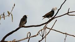 European Starling, Miller Creek, 05/04/15 (TonyM1956) Tags: tonymitchell duluth stlouiscounty minnesota nature birds millercreek europeanstarling sonyphotographing sonyalphadslr