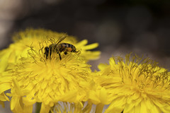 Abeille ... (sosivov) Tags: flowers flower macro yellow insect bee sonchus lagomera garajonay