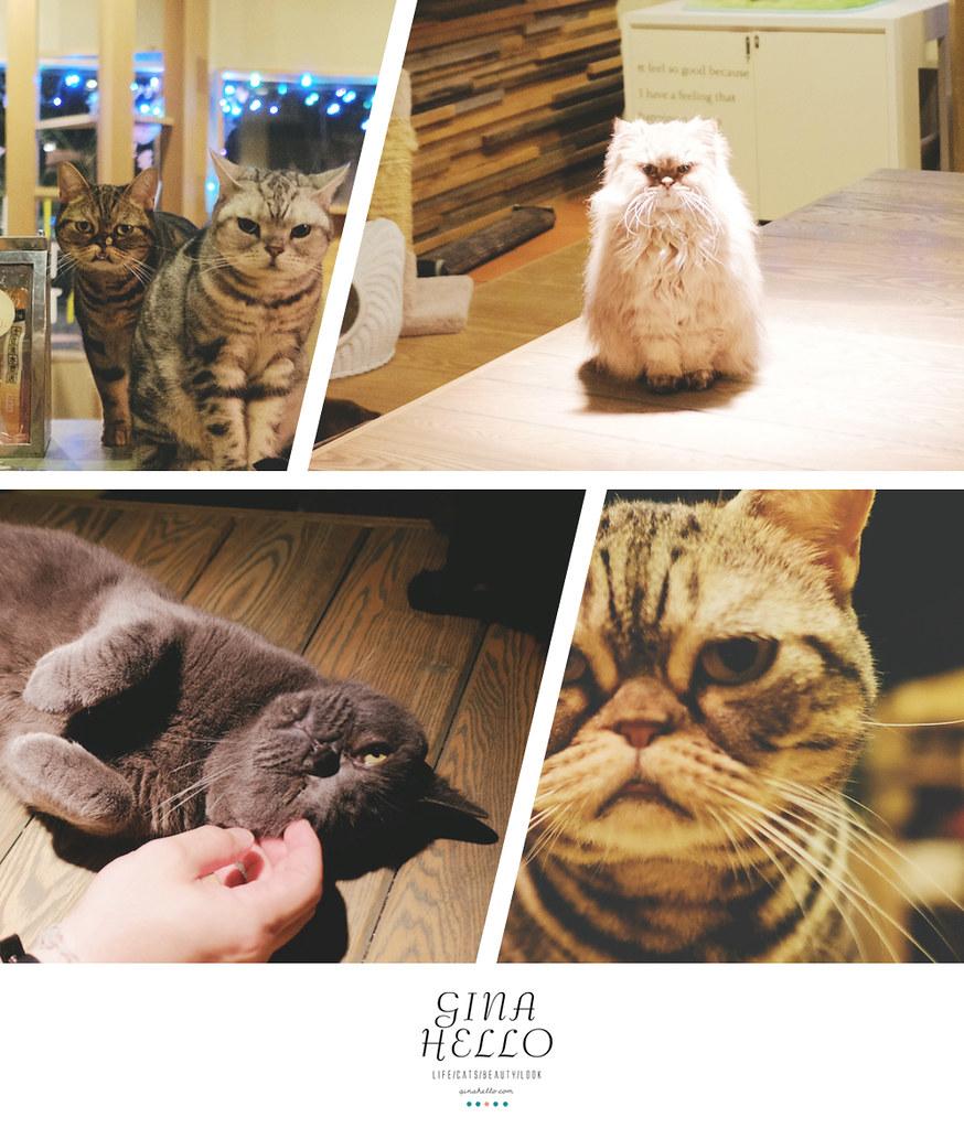 日本關西旅遊|2015春天。來被萌一下 日本大阪美國村的貓咖啡。貓的時間