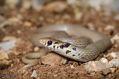 Eirenis modesta (Ring-headed dwarf snake) -   (shanicy) Tags: snake reptiles  israelnature