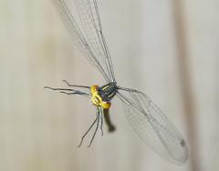 damselfly flying (gopper) Tags: damselfly air airborne flying amazing micro nikon d90 tamron 90mm damsel damselflie dragonfly great shot colour color ngc flickr fflickr