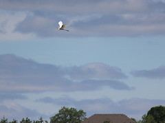 Flying High (Jeanne W Pics) Tags: blue trees sky bird rooftop heron minnesota animal clouds canon midwest wildlife gray canonrebel twincities dslr egret whiteheron canonrebelt3i