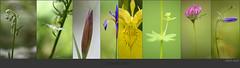 Streiflichter (Weinstckle) Tags: wiese blumen wald garten blten trifoliumpratense irispseudacorus schwertlilie trkenbund liliummartagon campanularotundifolia irissibirica heckengu sumpfschwertlilie wiesenklee platantherachlorantha rundblttrigeglockenblume grnlichewaldhyazinthe weiseslabkraut galliumalbum