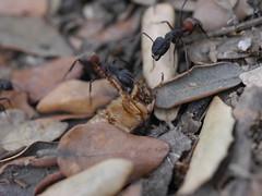 P1030888 (Dr Zoidberg) Tags: hormigas escarabajo zuiko50mmmacro