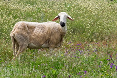 Gaunt Sheep (Sue_Hutton) Tags: rural spring sheep meadow morocco maroc wildflowers tangier tanger ksarsghrir