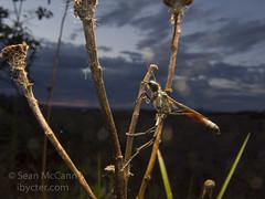 Ammophila (Sean McCann (ibycter.com)) Tags: hymenoptera ammophila sphecidae a720is