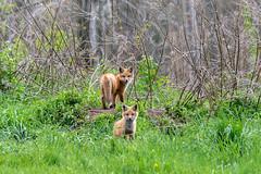 BNP_1200-Edit (MartinGene) Tags: wild nature fox kits