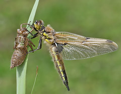 Teneral Four-spotted chaser (Roger H3) Tags: insect four dragonfly spotted chaser odonata