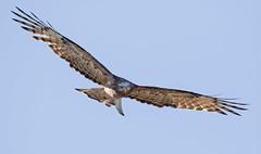 Square-tailed Kite (christinaportphotography) Tags: blue wild kite bird birds flying wings eyes focus dof flight free australia raptor nsw centralcoast kariong squaretailedkite lophoictiniaisura