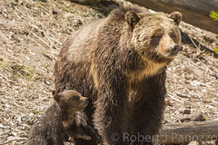 Mother and child (ChicagoBob46) Tags: bear cub yellowstonenationalpark yellowstone grizzly grizz grizzlybear