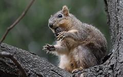 Squirrel, Cantigny Park. 37 (EOS) (Mega-Magpie) Tags: park usa tree nature america canon outdoors eos illinois squirrel branch outdoor wildlife dupage il wheaton cantigny 60d