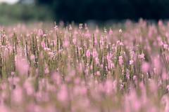 Veronica (hisashi310) Tags: flower nikon blossom bokeh veronica