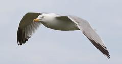 Herring Gull 3 20160507 (Steve TB) Tags: bird canon bif herringgull birdinflight broadstairs eos7dmarkii