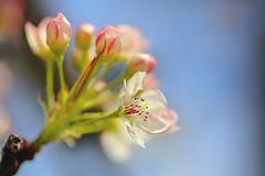 Flowering (lfeng1014) Tags: flower macro closeup dof bokeh blossoms bluesky depthoffield flowering blooming macrophotography crabappleflowers canon5dmarkiii 100mmf28lmacroisusm