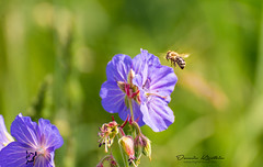 Bee (Dennis Kirstein) Tags: sun lake flower nature animal photography sony natur bee gras ente tier schmetterling biene