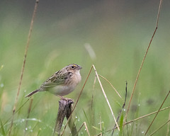 Grasshopper Sparrow (J.B. Churchill) Tags: birds us unitedstates maryland places garrett lonaconing taxonomy grsp sparrowstowhees pearidgeroad