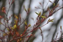 Acer Palmatum 'Sangokaku' (Pattern Interrupt) Tags: spring maple japanesemaple acer  oxfordshire palmatum  sangokaku batsfordarboretum visitbatsford