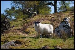 Sheep (zweiblumen) Tags: uk scotland sheep alba isleofarran polariser glensannox northayrshire eileanarainn canoneos50d zweiblumen