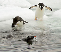 Gentoo Penguins on Cuverville Island_MG_4709 resized (Robyn Aldridge) Tags: seascape colour beach nature water birds swimming reflections landscape outdoors coast penguins fishing wasser feathers antarctica coastline waterscape icescape cuvervilleisland antarcticpeninsula gentoopenguins canon7d tamron18270mm