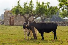 Ma stasera non lasciarmi (Antonio Ciriello) Tags: italy tree nature animal canon italia cows cottage natura tamron albero puglia animali martina casolare taranto mucche 70300 apulia pascolo crispiano 600d massafra 70300vc eos600d canoneos600d tamron70300vc rebelt3i 70300vcusd