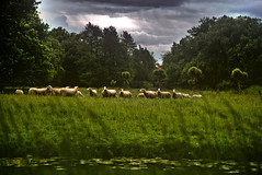 Grazing sheep (jan.arnds) Tags: animals river germany sheep riverside outdoor side flock gras ufer graze darksky schafe vechte herde janarnds