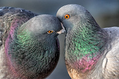 Give us a kiss :-) (bodro) Tags: birds kiss pigeon wetlands bolsachica
