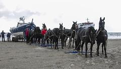 2016-Ameland036 (Trudy Lamers) Tags: wadden ameland eiland paarden reddingsboot reddingsactie
