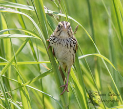Henslow's Sparrow (Shawn Collins Photography) Tags: bird nature birds canon outdoors photography pennsylvania wildlife birding sparrows grasslands mercercounty crawfordcounty bobolinks venangocounty pabirds pabirding