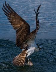 Predator (mwjw) Tags: predator osprey birdofprey umatilla catchingfish tamron180mm lakepearl markwalter nikond800 mwjw