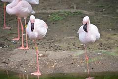 Flamencos (citizen for boysenberry jam) Tags: pink wild bird animals zoo texas waco flamingo waza aza cameronparkzoo