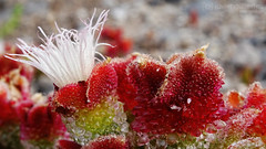 Beautiful Drops (gjaviergutierrezb) Tags: flowers red plants white closeup drops