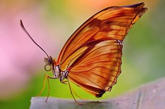 The butterfly in profile (Suzanne takes you down) Tags: wings profile