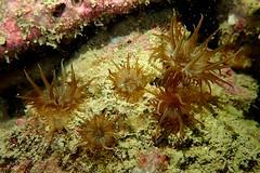 five trumpets (richie rocket) Tags: dorset glug tango underwater blackhawk wreck trumpetanemone aiptasiamutabilis