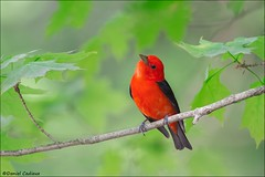 Scarlet Tanager Canadiana (Daniel Cadieux) Tags: red forest scarlet maple ottawa mapleleaf scarlettanager tanager