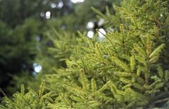 (Zlata Skorobogatova) Tags: green film nature field analog 35mm fuji pentax takumar atmosphere fuji200 spruce fujicolor filmphoto