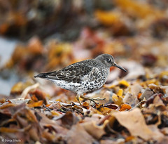 Purple sandpiper I Varangerfjord Norway (sonjasiltala) Tags: purple calidris kelp sandpiper tang finnmark maritima varangerfjord ruija fjreplytt merisirri ruskolev