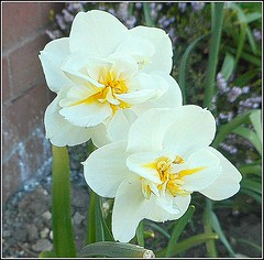 Two Narcissus Flowers .. (** Janets Photos **) Tags: uk plants flora bulbs springtime narcissus