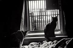 (my-so-called-life2011) Tags: cats film cat photography feline pussycat blackandwhitephotography kittycat filmphotography mansurayapur