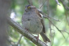 White-throated Sparrow (smkeereweer) Tags: canada novascotia whitethroatedsparrow zonotrichiaalbicollis