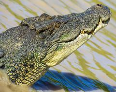 adelaide river crocodile (Greg Rohan) Tags: danger killer crocodile croc prehistoric darwincrocodile
