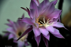 Echinopsis (Paolo Bonassin) Tags: flowers cactus flower cactaceae echinopsis succulente cactacee
