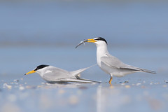 Least Tern Courting/Mating Series 7/10 (bmse) Tags: food fish beach canon mating l ritual f56 behavior least tern exchange courting salah 400mm wingsinmotion 7d2 hunntington bmse baazizi
