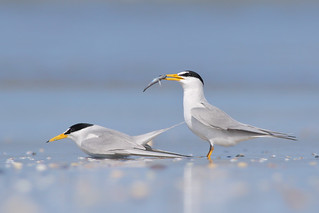 Least Tern Courting/Mating Series 7/10