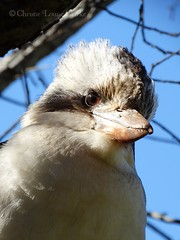 Laughing Kookaburra (Twistiekins) Tags: laughing native australian kookaburra dacelo novaeguineae