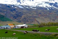 Iceland Day 10: orvaldseyri (wanderingYew2) Tags: iceland farm eyjafjallajkull orvaldseyri fujixpro2